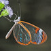 glasswinged butterfly - Photo (c) Jerry Oldenettel, some rights reserved (CC BY-NC-SA)