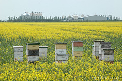 Bee Hives in Manitoba (Rob Huntley Photography - Ottawa, Ontario, Canada) Tags: canada beauty field horizontal landscape outdoors photography countryside day farm bees nopeople manitoba repetition prairie agriculture grassland beehive mb scenics canola hives huntley canolafield beautyinnature southernmanitoba robhuntley robhuntleyphotography