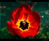 ~ tulip specially for you ~ ;-) (together8) Tags: flower searchthebest tulip mygarden blume tulpe nikond40 visiongroup citrit macromarvels awesomeblossoms vosplusbellesphotos oraclex mandalalight lesamisdupetitprince goldenart nature´screations together8 sensationalphoto thedantecircle imagesforthelittleprince daarklands