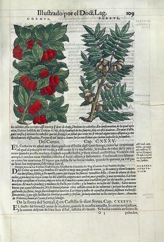 006- El cerezo silvestre- Pedacio Dioscorides Anazarbeo 1555