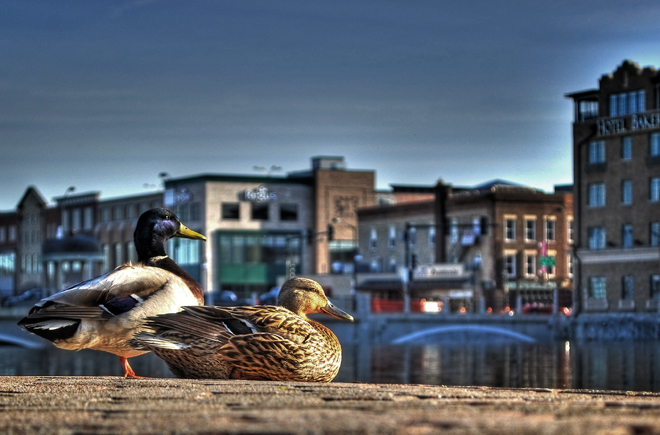 Ducks on the town