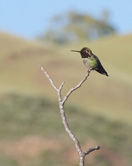 Anna\'s Hummingbird (Pomar (historical), California, United States) Photo