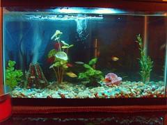 10 gallon tank (LiLBean01) Tags: volcano neontetra platty 10gallonaquarium glowlighttetra whitecloudfish