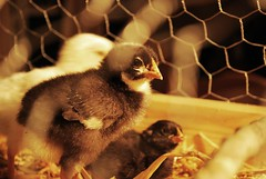 chirp chirp. (ashley jenkins.) Tags: food cute chickens chicken up wings babies fuzzy wing chicks growing finally grew candling 42009