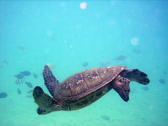 Turtle (aprilandrandy) Tags: green hawaii turtle maui honu blackrock aprilandrandy