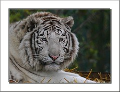 Nostalgie ou ennui dans le regard!!  Nostalgia or trouble in the glance (Nounou 12 Maryse) Tags: nature zoo whitetiger specanimal tigreblanc parcanimalier vosplusbellesphotos