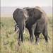 Bull Elephant.