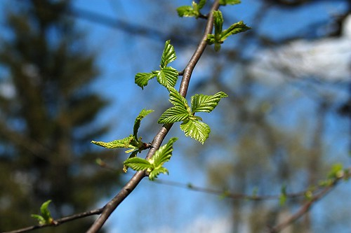 Signs o' Spring - Leaf Buds.