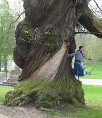 Ancient tree, Christchurch Park (wonky knee) Tags: uk suffolk twisted ipswich christchurchpark knobbly ancienttree edelkastanie spanishchestnut arbrecentenaire arbreancien arbreenorme altebaum grossebaum