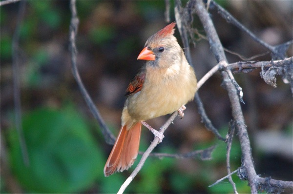 female_cardinal_0042