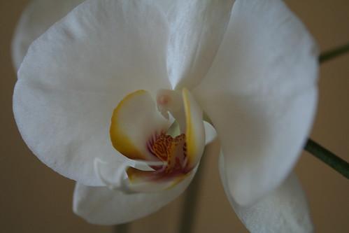 White Phalaenopsis