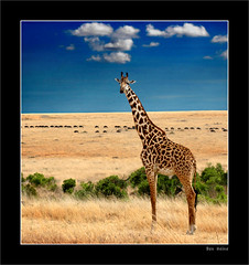 Living Skyscraper (Ben Heine) Tags: world africa travel light wild summer sun hot art nature animals composition season landscape photography countryside warm poem colours photographie time nikond70 kenya earth geometry lumire couleurs critter magic details breath peaceful philosophy manipulation calm safari oxygen illusion harmony poet planet terre giraffe spirituality wisdom conceptual migration capture paysage retouch graze girafe enhancement afrique sauvage buffle kleuren giraf oxygne savane migrate troupeau respirer digitalshot benheine godspaintings hubertlebizay hubzay flickrunited livingskyscraper giraffessong