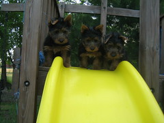 Hmmm?? Should we?? Teddy, Dori and Jazz, of course we should, we're couragous terriers!