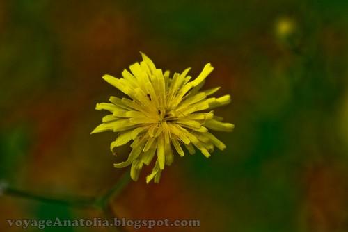 Yellow Flower at Mount Ida by voyageAnatolia