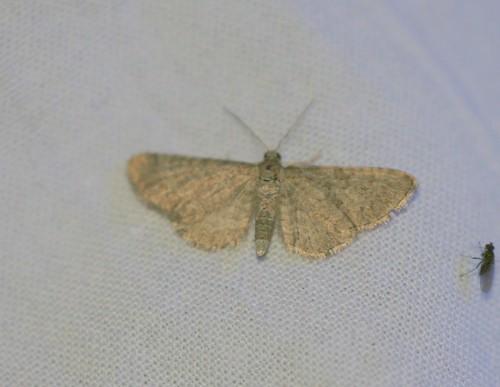 Lead-coloured Pug (Eupithecia plumbeolata)??