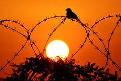 Himig ng Pag-ibig (Asin) (Filan) Tags: sunset sun bird love nature freedom iran distillery silhoutte asin filan inspiredbylove the4elements colorphotoaward himigngpagibig spiritofphotography inspiredbyhim filanthaddeusventic garbongbisaya filannikon filand3 filantography nikonfilan filanthography nikonianfilan iamfilan