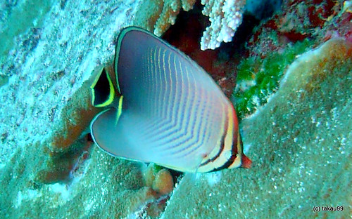 Triangle butterflyfish, Similan Thailand