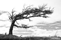 How the trees grow in Tierra del Fuego (Ole Begemann) Tags: travel trees bw patagonia latinamerica southamerica nature argentina tierradelfuego landscapes blackwhite reisen wind natur 2006 sw bume baum landschaften argentinien aerodynamics lateinamerika feuerland sdamerika patagonien schwarzweis aerodynamik aerodynamisch camera:iso=100 flagtrees provinciadetierradelfuego camera:model=canoneos20d lens:aperture=f11 lens:focallength=30mm camera:shutter=sec islagrandedetierradelfuego tierradelfuegoprovince original:filename=2006032820d019729