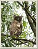 Brown Fish Owl (Ketupa zeylonensis) (Z.Faisal) Tags: brown fish bird nature nikon beak feathers aves owl dhaka nikkor bangladesh avian bipedal bangla faisal bubo desh d300 zamir savar kudum pakhi brownfishowl ketupazeylonensis endothermic nikkor300mmf4 jahangirnagar jahangirnagaruniversity pencha bubozeylonensis ketupa zeylonensis zamiruddin zamiruddinfaisal khoira bhootoom zfaisal khoiramechopencha bhootoompencha hutumpencha kudumpencha duphuduthang mechopencha hutum duphu duthang