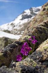 Primule tra le rocce...(Valsavarenche, Valle d'Aosta, Parco Nazionale del Gran Paradiso) (Sisto Nikon - CLICKALPS PHOTOGRAPHER) Tags: panorama macro primavera trekking nikon natura cielo neve monte fiori primula primule alpi paesaggi montagna paesaggio maggio monti ghiaccio valledaosta panorami sisto granparadiso escursionismo escursione valsavarenche nivolet ciarforon valledaoste alpigraie naturalistica parconazionaledelgranparadiso sisti piccoloparadiso pngp beccadimontandayn