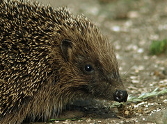 Road hog (Mr Grimesdale) Tags: nature mr steve wallace british hedgehog britishwildlife wildlifenature mrgrimsdale olympuse510 grimesdale