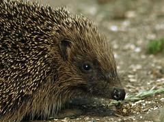 Road hog (Mr Grimesdale) Tags: nature mr steve wallace british hedgehog britishwildlife wildlifenature mrgrimsdale olympuse510 grimesdale