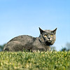 AP-0JZICC_www.animal-photography.com (Animal Photography stock images) Tags: blue sky cats grass animal animals cat mediumformat observation outside outdoors grey one 1 feline adult watch watching champion expressions bluesky best class domestic mature single squareformat simplicity only excellent shorthair blueskies lying simple adults contemplate carnivorous shorthaired ch champ openair pedigree contemplation chartreux lowangle lyingdown excellence observing intention consideration greycolor sorthair fullbody outofdoors greycolour lowangleview shorthairs charteuse lowviewpoint fullygrown lookingtowardscamera