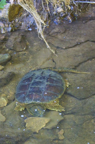 Snapping Turtle Hanging About