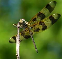 dragonfly belly and evening bokeh (Shakti Womyn) Tags: dragonfly bokeh explore halloweenpennant platinumphoto