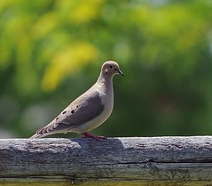 If Birds Could Talk ... (BlufoxImages (Larry)) Tags: bird mourningdove fencepost nikon70200f28 nikond300