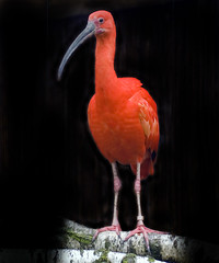 Scarlet Ibis on Black (Steve Wilson - over 2 million views thank you) Tags: uk red england color colour bird southamerica america scarlet geotagged zoo nikon colorful cheshire south conservation chester ibis breeding trinidad tropical caribbean colourful endangered d200 captive geotag rare tobago avian captivity scarletibis upton chesterzoo eudocimusruber nikond200
