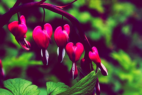 Bleeding Hearts, Dicentra