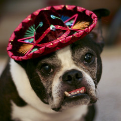 Seior Sam ( Just me... ) Tags: boston bostonterrier terrier sombrero