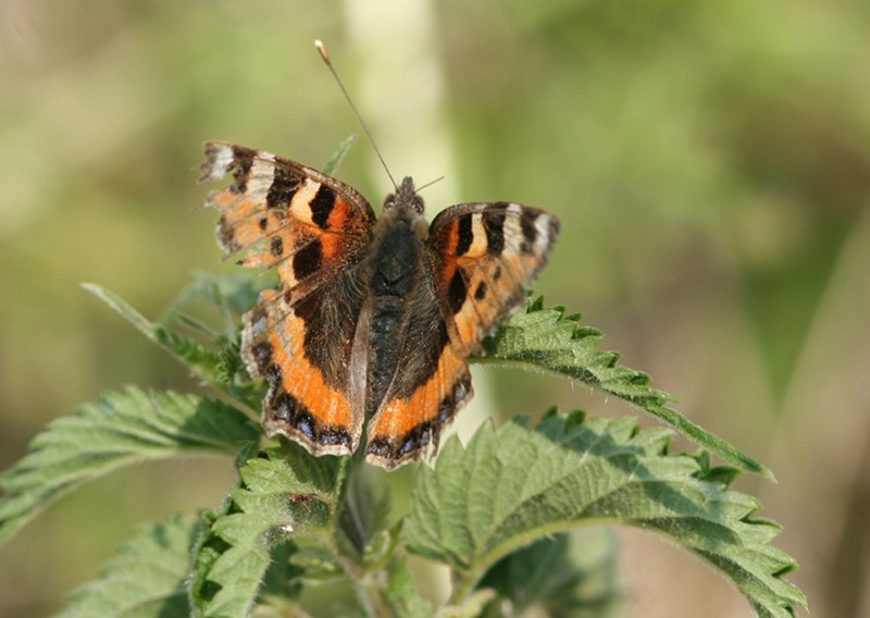 World's tattiest Small Tortoiseshell