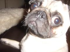 STA40624 (Rhysmurphy) Tags: mydog thisisben