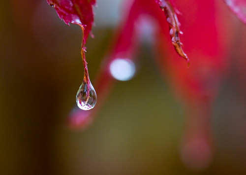 272/365 - Japanese Maple Rain