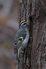 A53F0020-Edit Golden-crowned Kinglet (~ Michaela Sagatova ~) Tags: bird nature dundas goldencrownedkinglet birdphotography regulussatrapa dvca michaelasagatova