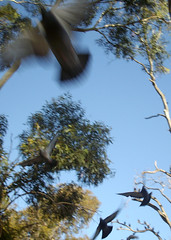 Pidgeons take flight (danimations) Tags: birds flying flock flight australia adelaide pidgeons flap pidgeon kensingtonpark