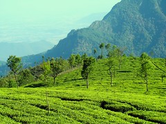 Tea Estate Ooty