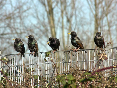 Starlings in Russia Dock Woodland