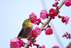 white-eye (kaycatt*) Tags: birds spring wildlife japanesewhiteeye zosteropsjaponicus whiteeye mejiro plumblossoms