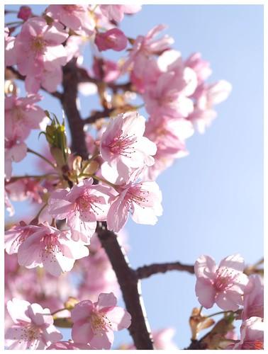 Cherry blossoms 090305 #01