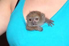 Bamboo Lemur (Bosse Skansen-Akvariet) Tags: wild zoo sweden stockholm bamboo lemur primate prosimian djurpark skansenakvariet primat vild bamboolemur greygentlelemur bambulemur hapalemurgriseusoccidentalis halvapa