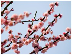 Japanese Apricot 090310 #02