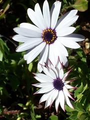 African Daisy (Velvet Elevator (Pandy Farmer)) Tags: white flower daisy pollen africandaisy purpledaisy dimorphothecaecklonis
