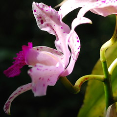 Seeing Spots (StGrundy) Tags: pink atlanta plants usa white orchid flower detail green floral colors leaves closeup garden georgia botanical petals purple unitedstates blossom bokeh south naturallight noflash midtown explore southern orchidaceae squareformat tropical bloom dappled atlantabotanicalgarden speckled blooming fuquaorchidcenter explored nikond80 aperturef90 focallength55mm nikkor1855mmf3556gvr exposure0003sec