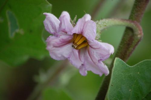 brinjal bloom