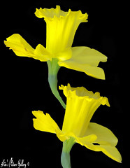 The Daffy Twins!!! (~Kim's Picture Gallery~) Tags: flowers two beautiful yellow twins pretty explore daffy hugs elegant classy twoofakind