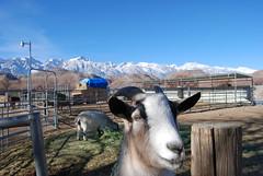 Lone Pine Dec 30, 2008 532 (Thank You 7.5 Million Visitors!) Tags: goats lonepine 395 dec302008