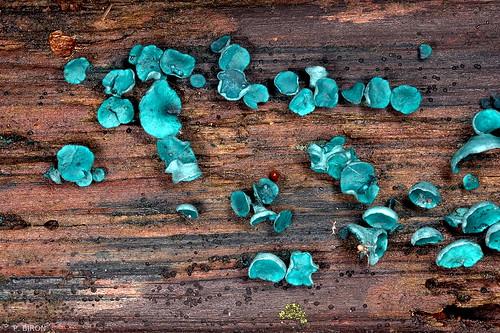 Chlorociboria aeruginascens, the green stain fungus
